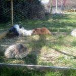 Stříhání zakrslých králíčků